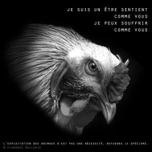 """Visuel animaliste """"En noir et blanc"""" - Coq, Florence Dellerie"""