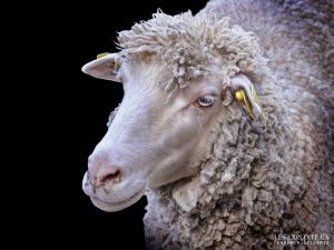 """Photo animaliste - """"Mouton Île-De-France"""" - Les Exploité.e.s, Florence Dellerie"""