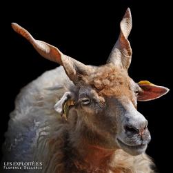 """Photo animaliste - """"Mouton Racka"""" - Les Exploité.e.s, Florence Dellerie"""