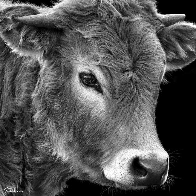 vache_aubrac_florence_dellerie